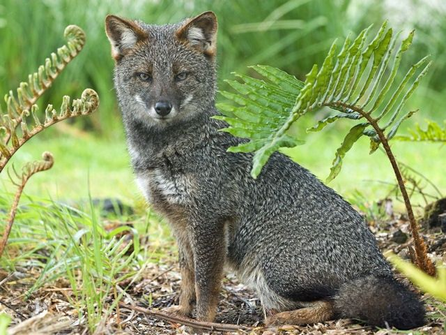 Darwin's fox or Darwin's Zorro is a small critically endangered canine from the genus Lycalopex. It is also known as the Zorro Chilote or Zorro de Darwin in Spanish and lives on Chiloé Island and Nahuelbuta National Park in mainland Chile.