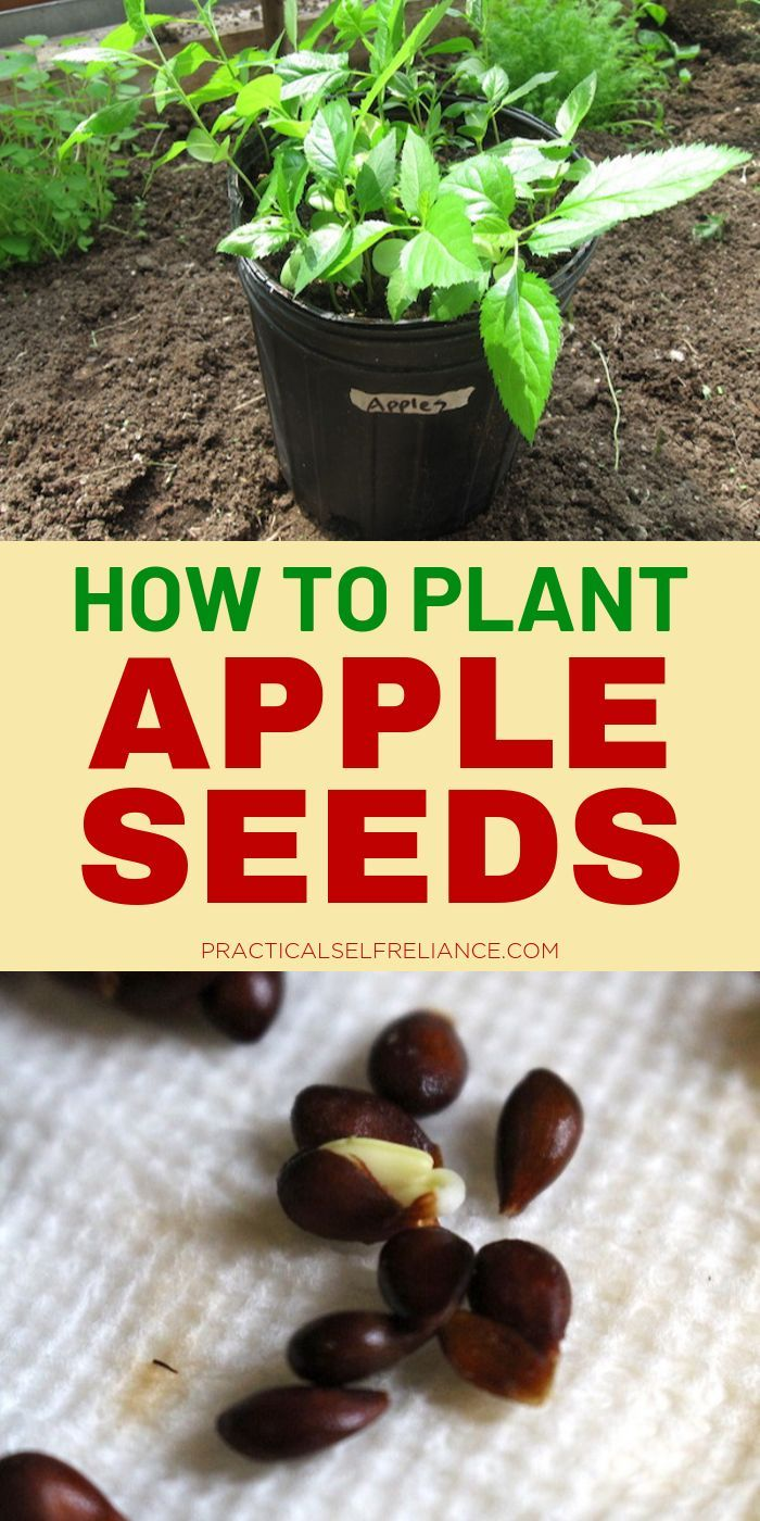 How To Grow Apple Trees From Seed Apple Tree From Seed Apple Tree Planting Fruit Trees
