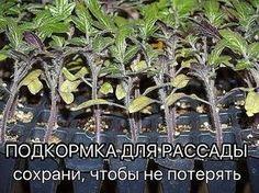 Рассаду помидоров поливают раствором йода для более быстрого роста (1 капля на три литра). После применения этого раствора рассада зацветёт быстрее, а плоды будут крупнее. | Дачный сад и огород