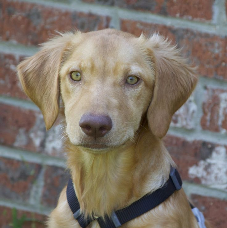 This is Abigail 17-146 a 5 month old Golden/Lab mix. She was surrendered to AC. Puppies need obedience and socialization class, mental and physical exercise, training, time, attention, patience and love. GRR of NO. TX.