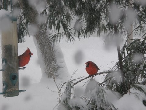 Cardinals in the snow- we love to watch them  in our backyard