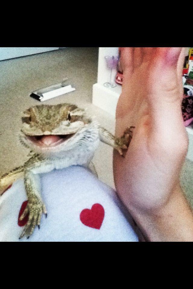 Bearded dragon. Gobi, high five !! Follow him on Instagram. Username: gobi_master  ( # reptile. Animal. Pet. Lizard. )