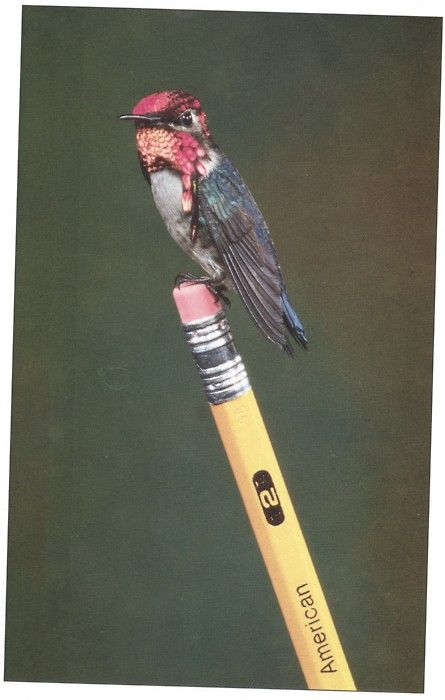 Bee Hummingbird ~ Wow ...... this little ones weigh less than a U.S. or Canadian penny!!  So tiny, would love to have one perch on my finger.