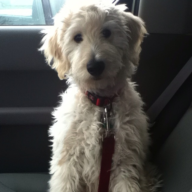 Labradoodle Charlie is a f1b