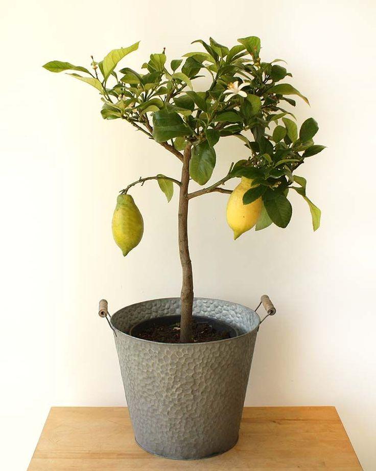 Large lemon tree with images lemon tree plant gifts tree