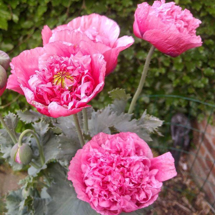 ramen open zetten deze ochtend en deze schoonheid ontdekken. #papaver #poppy #coquelicot #mijntuin #mygarden #flowers #gardening #goodmorning #poweredbyrenee @potenpapaver ge zijt hier weer beetje meer bij ons.