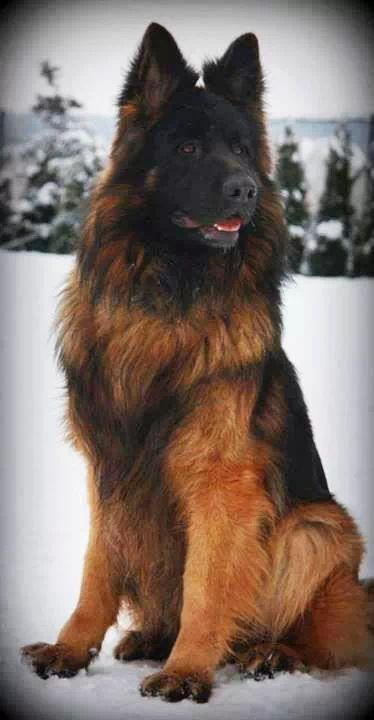 Longhaired german shepherds brown and black color