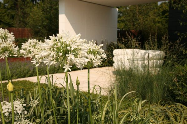 White African lily (Agapanthus) (Lily of the Nile) underplanted with Wallich milk parsley and Miscanthus 'Caberet' in Vestra Wealth's Gray's Garden, Hampton Court Palace Flower Show 2011