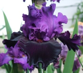 TB Iris germanica 'Devil's Kiss' (Bruce, 2010)