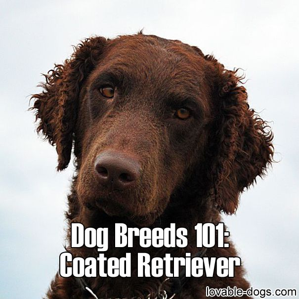 Dog Breeds 101 – Curly Coated Retriever ►► http://lovable-dogs.com/dog-breeds-101-curly-coated-retriever/?i=p