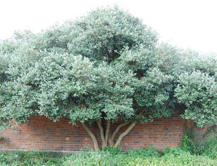 pineapple guava tree - Google Search