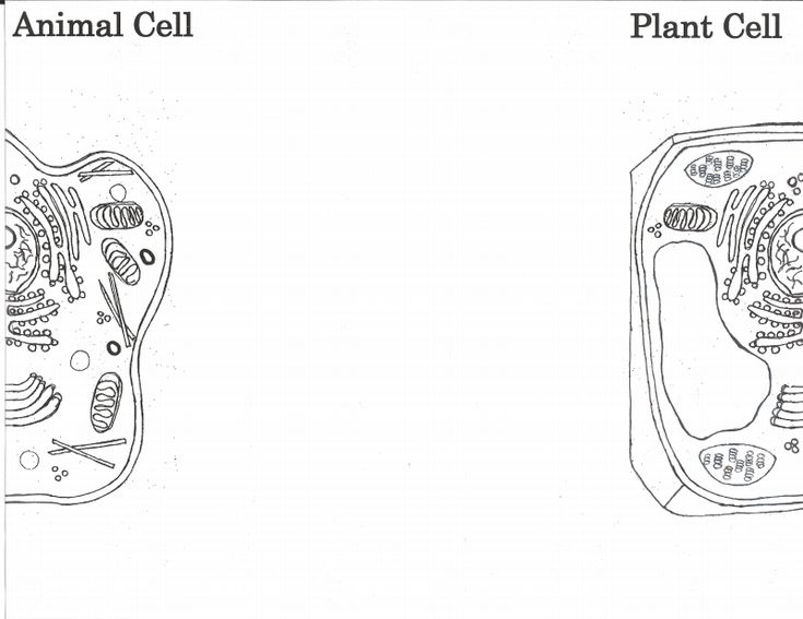 plant and animal cell foldable template