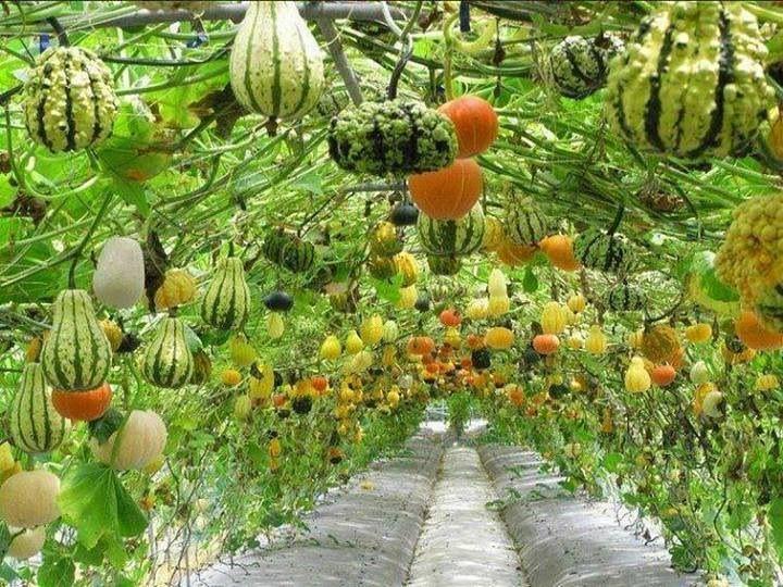 Pumpkin squash trellis wow crafts pinterest for Hanging vegetable garden ideas