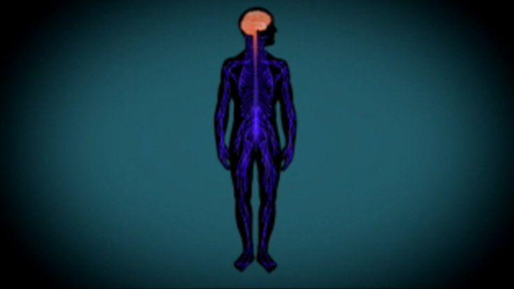 Je lichaam bestaat uit een netwerk van zenuwen. Berichten worden van en naar de hersenen gestuurd.