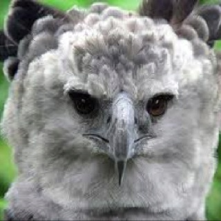 Harpy Eagle - most powerful eagle; 2.1m wingspan