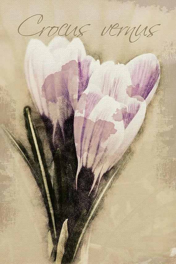 Crocus vernus  Digital Download Art botanical print floral