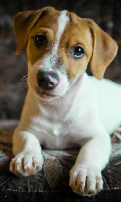 Милейший Джек Рассел Терьер интересуется как у вас дела :) #dog #pets #JackRussellTerrier http://www.ria.com/Pets/Dogs-puppies/terrier/jack-russel/