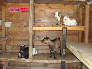 love this idea for the goats