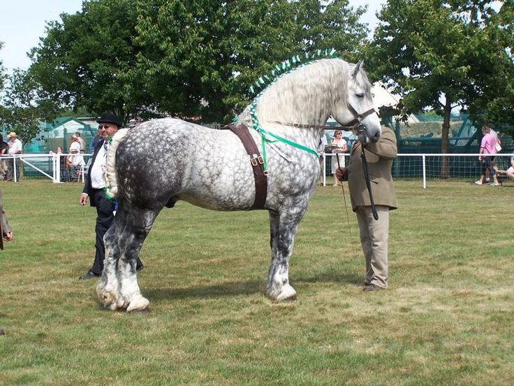 1000+ ideas about Shire Horse Society on Pinterest   Shire ...