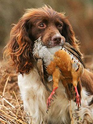 Field Bred English Springer Spaniel