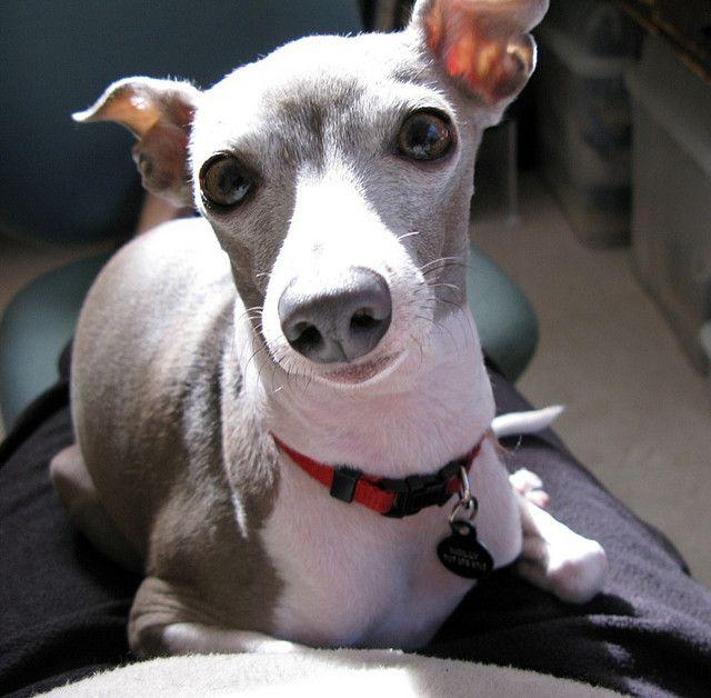 Pharaoh Hound Italian Greyhound Mix 1000+ images about Hou...