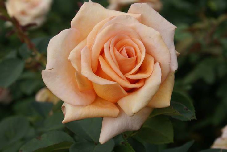 Warm Wishes | This hardy variety grows upright & produces shapely, full petalled blooms of a soft peach colour which last for a long time. An excellent provider of cut roses. Vigorous & healthy. Winner of 7 International awards.