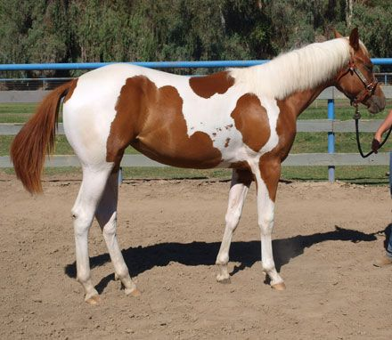 Chestnut APHA Paint Filly, 2015 Gentlemen Send Roses filly in California. DreamHorse.com is the premier horse classifieds site with horses for sale, lease, adoption, and auction, breeding stallions, and more.