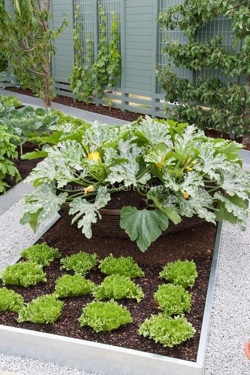 Bonne idée de placer dans un grand contenant (troué?) un plant de courgette pour surélever les belles grandes feuilles à la base. Coin potager.