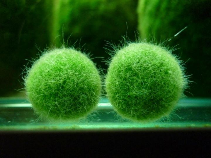 Selecting an Appropriate Jar or Vessel to House a Marimo Specimen | MossBall.com