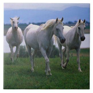 Arabische Pferde, die in Weide gehen Große Quadratische Fliese