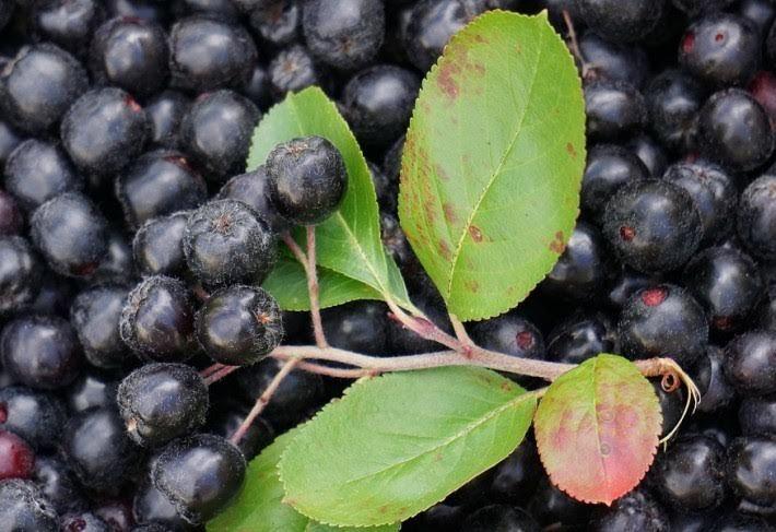 ehető sövénynövény, fekete berkenye  #kert.tv