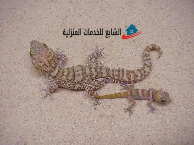 Pin By شركة الشايع On مكافحة حشرات Gecko Animals Lizard