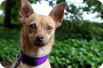Chihuahua Mix Dog for adoption in Bellevue, Washington - Elmo