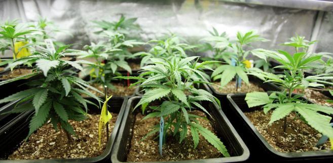 Trybunał Konstytucyjny skrytykował przepisy ustawy antynarkotykowej w w sprawie posiadania marihuany do celów medycznych