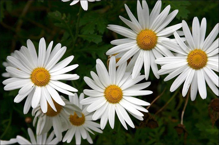 daisies | DPExpert Gallery :: CANON EOS 300D sample photos :: daisies