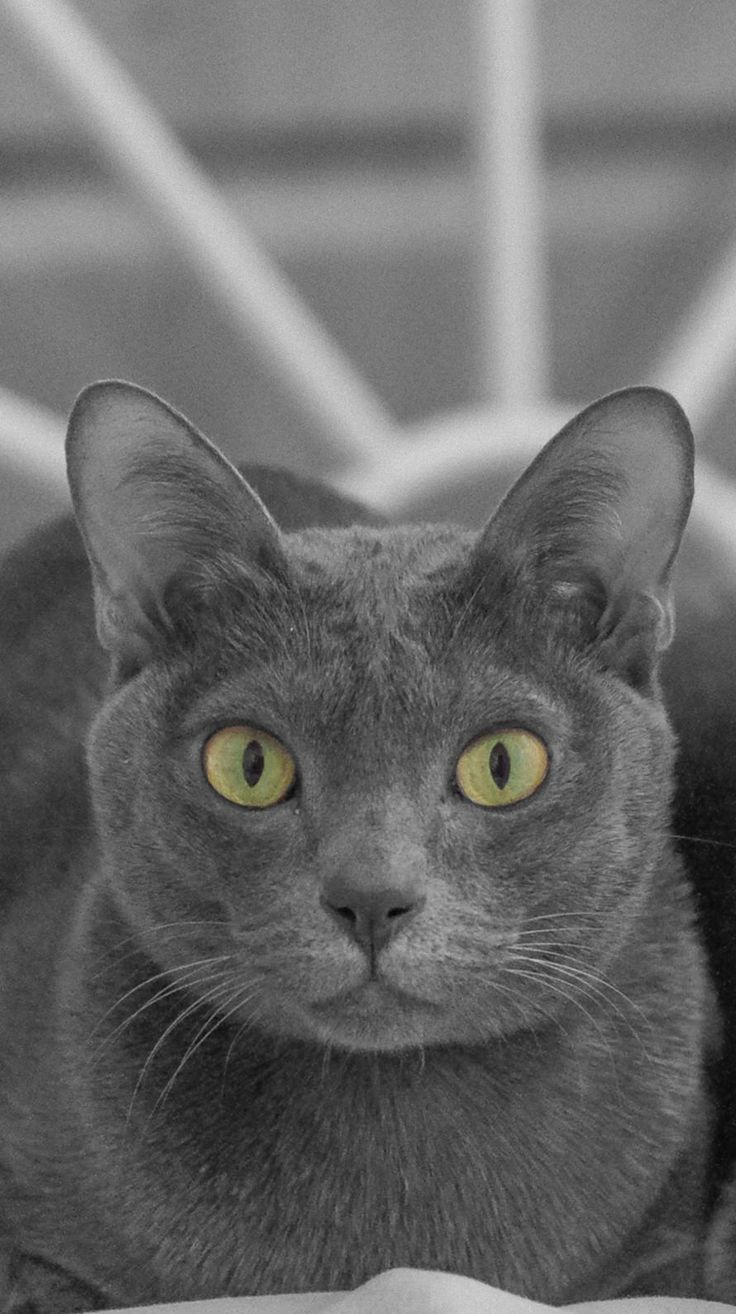 106 best Russian Blue Cat s images on Pinterest