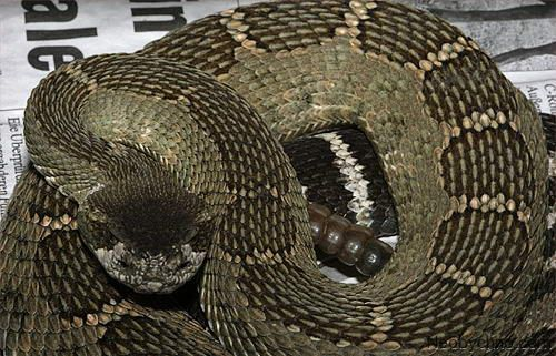 Зеленая гремучая змея.  Рептилия с северного тихоокеанского побережья Америки, изредка водится также в Британской Колумбии (Канада) и на северо-западе Мексики. Большинство американцев считают зеленого гремучника самой агрессивной ядовитой змеей в США, пользующейся весьма дурной славой. Прекрасно маскируется, отлично лазит по деревьям. Достигает метровой длины. Укус гремучей змеи смертелен для человека (разжижает кровь), но, скажем, для скунсов совершенно неопасен.