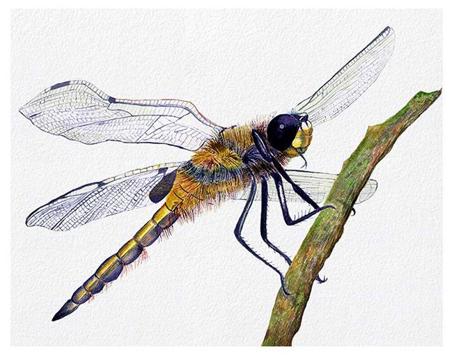 A4 Dragonfly Insect Watercolour Painting Signed Ltd Ed Print  Mothers Day Gift in Art, Direct from the Artist, Paintings   eBay!