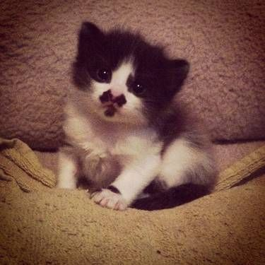 Cute Black/White Manx Kitten - 9 Weeks Old... TOOOOO cute for words.... i think i died and went to fluffy heaven