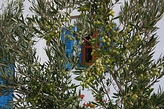 Olive trees in our garden, Naxos Greece