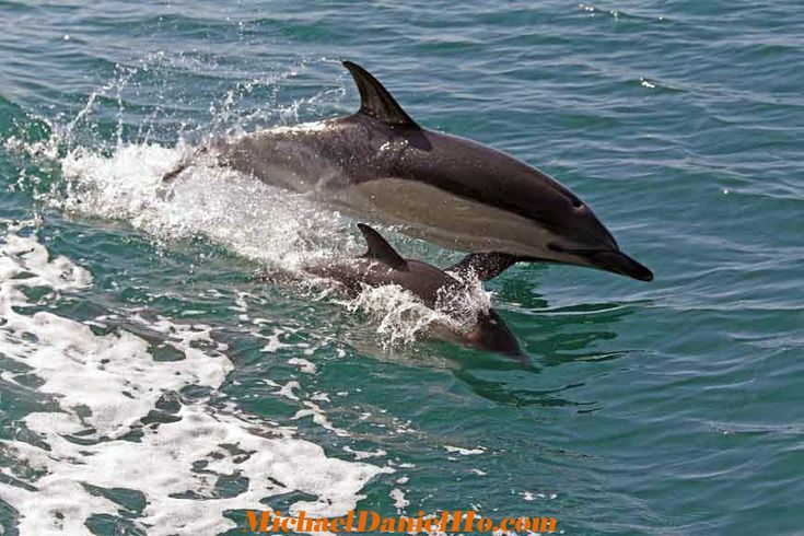 Common Dolphin & Calf surfing