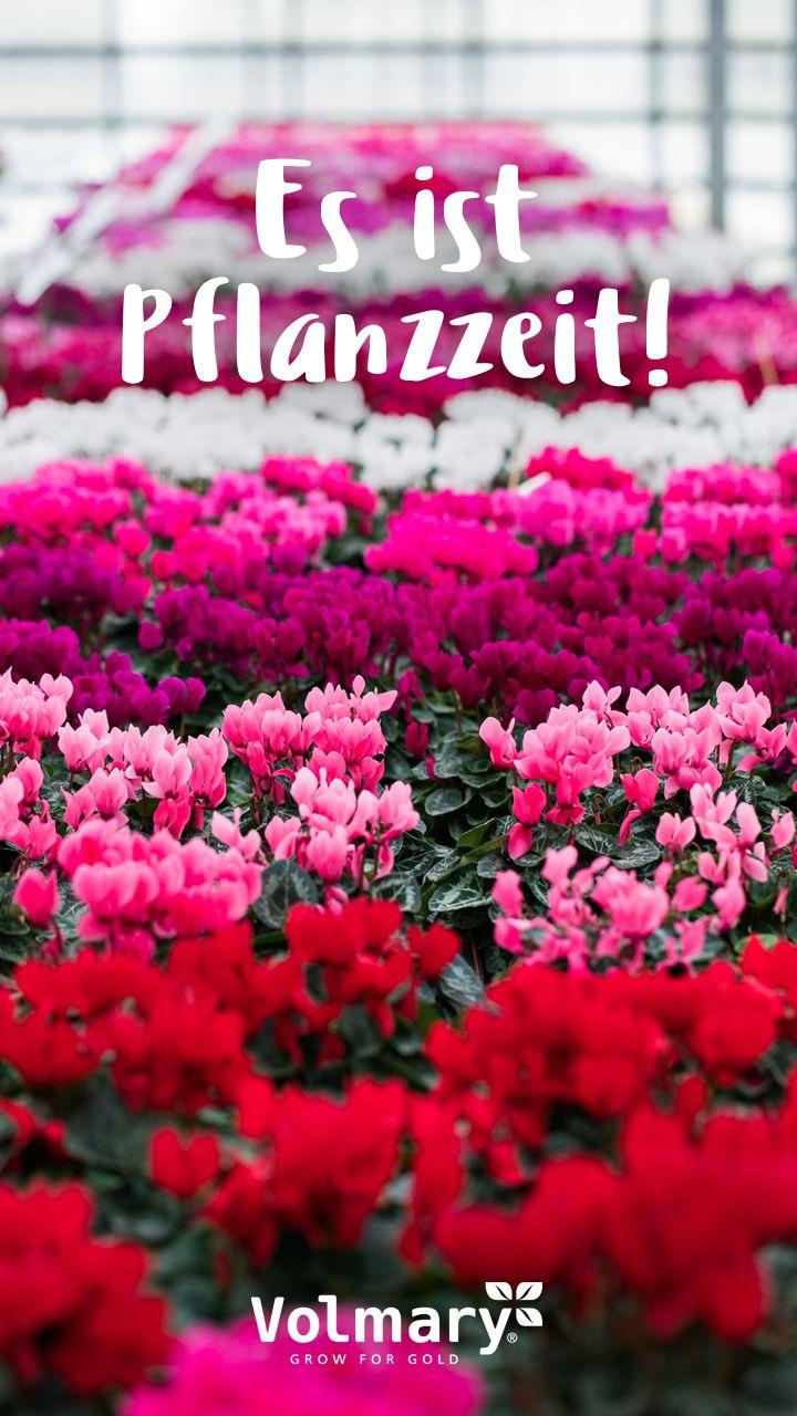 Pflanzzeit Fur Alpenveilchen Alpenveilchen Pflanzen Veilchen