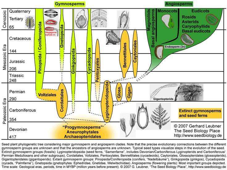 Gymnosperm and Angiosperm evolution
