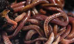 HowStuffWorks: informational page with everything you need to know about red wigglers & composting. AWESOME.