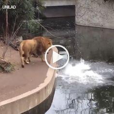 #lion #funny # lion #gif #video   – Dewi Deli Maria