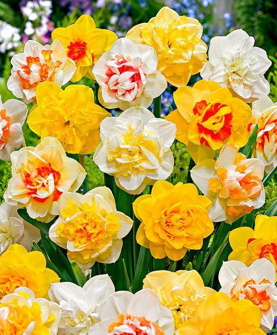 Dubbelbloemige narcis Mix  Met deze dubbelbloemige narcissen (Narcissus) mix wordt uw tuin nog vrolijker! Deze dubbelbloemigen hebben een extra krans van bloemblaadjes. Daardoor komen de bloemen in allerlei kleurencombinaties voor. Deze narcissen bloeien verrassend lang! Ook kunt u de bollen van de narcissen in de grond laten zitten zodat ze het volgende jaar weer op komen.  EUR 18.50  Meer informatie