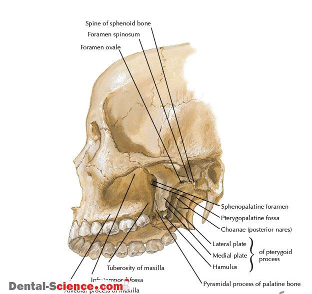 PTERYGOPALATINE FOSSA  1)Overview and Topographic Anatomy GENERAL INFORMATION   Pyramid-shaped fossa on the lateral aspect of the skull between the maxilla's infratemporal surface and the pterygoid process of the sphenoid Contains major nerves and blood vessels that supply the nasal cavity, upper jaw, hard palate, and soft palate: the maxillary division of the …
