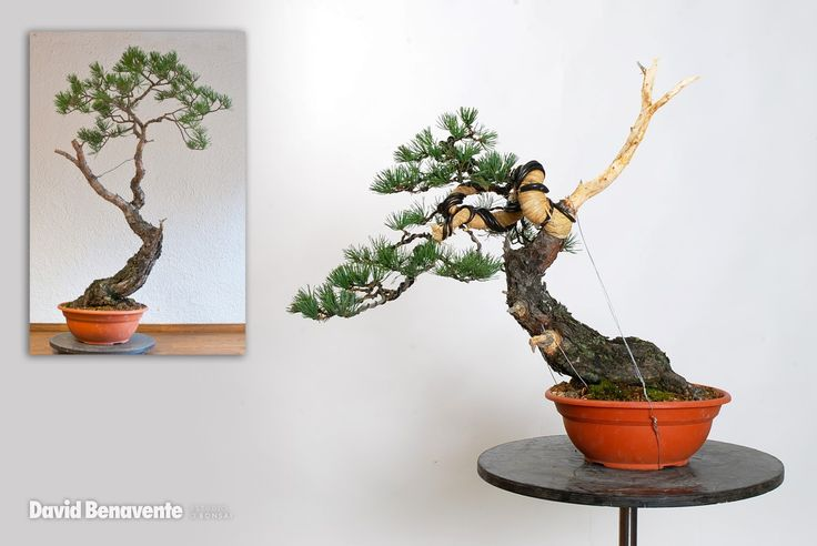 David Benavente | Bonsai Study