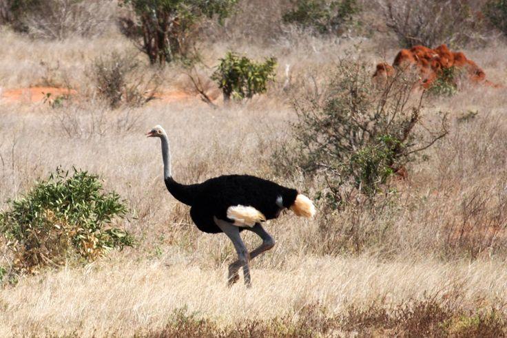 Ostrich in Tsavo Kenya. #birds #bird # Kenya #savanna #adventure