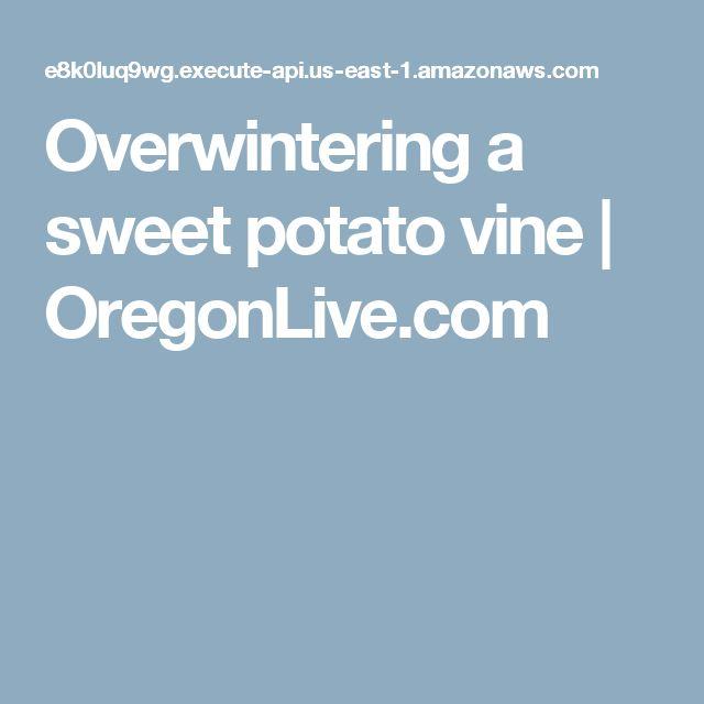 Overwintering a sweet potato vine | OregonLive.com